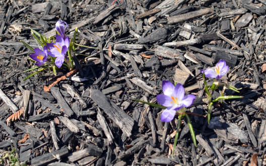 1604_My-first-crocus